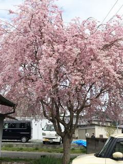 実家の桜2.jpg